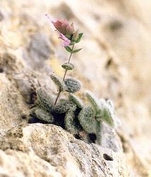 Δίκταμος, αρωματικό φυτό της Κρήτης. Φωτογραφία από το αρχείο του Δρ. Κώστα Οικονομάκη.