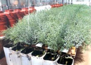 Πειραματική υδροπονική καλλιέργεια δικτάμου